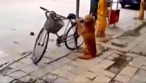 Pies pilnuje roweru właściciela. Poczekaj aż zobaczysz co dzieje się w 45 sekund