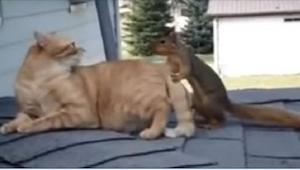 Bezczelna wiewiórka ciągnie kota za ogon. Nie uwierzycie nam na słowo w to, co p