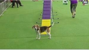 Pies zaczyna swój występ, a już po kilku sekundach cała publiczność nie może pow