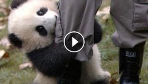 Ta mała panda nic sobie nie robi z tego, że mężczyzna próbuje pracować - ona chc