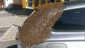 Przez 2 dni rój pszczół śledził samochód tej kobiety. Powód znaleźli dopiero zdz