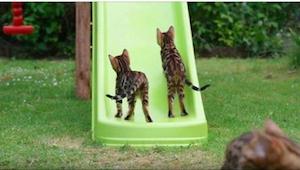 Tak energicznych kotów jeszcze nie widzieliśmy! Wiecie, co to za rasa?