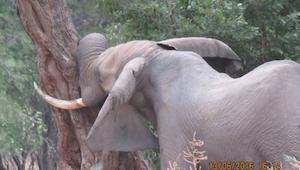 Słoń mocno przyciskał głowę do drzewa - powód? Przerażający!