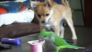 Papużka spokojnie wyjadała resztki jogurtu, gdy nagle pojawił się psiak i zrobił