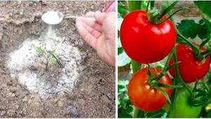 W końcu zdradził mi 4 sztuczki, jakie stosuje, by mieć pyszne pomidory... w duże