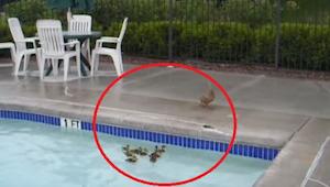 Kaczuszki utknęły w basenie, a ich mama bezradnie patrzy jak nie mogą wyjść. Wte