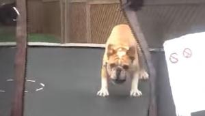 Mężczyzna wpuścił buldoga na trampolinę. Chwilę później? Genialne!