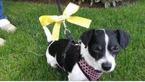 Zobacz, jak należy postępować widząc psa z żółtą wstążką albo raczej... jak NIE
