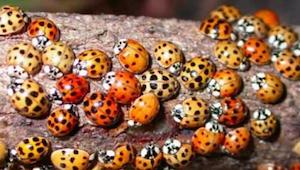 Te chrząszcze bardzo łatwo pomylić z biedronkami, jest to jednak błąd, który moż