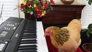Nie uwierzycie, ale ta kura faktycznie gra na pianinie!
