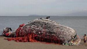 Znaleźli wyrzuconego na brzeg, martwego wieloryba. Kiedy zobaczyli, co ukrywało