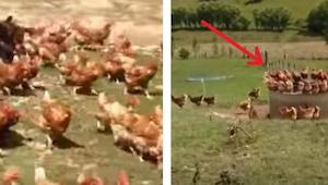 Skąd pochodzą jaja z wolnego wybiegu - przekonajcie się oglądając to nagranie