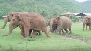 Słonie nagle zrywają się, żeby przywitać gościa - to, do kogo tak się spieszą, c