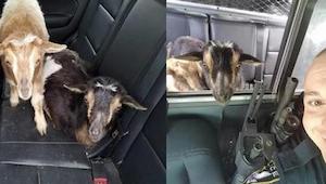 Policjant dostał wezwanie o kozach w garażu... Po czym spędził z nimi cały dzień