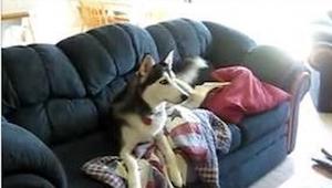 Husky jest uzależniony od oglądania telewizji. Zobaczcie, co się stanie, gdy wła