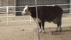 Musicie zobaczyć reakcję tej krowy gdy zrozumiała co przywiozła ciężarówka. Łzy