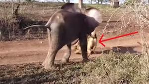 Słoniątko było porzucone przez rodzinę i popadło w depresję - dopóki nie znalazł