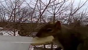 Ta wiewiórka nauczyła się jak działa... wymiana barterowa! Musicie to zobaczyć :