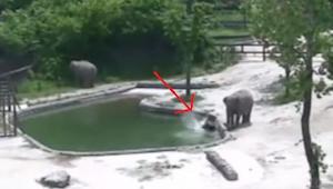 Słoniątko wpadło do wody i zaczęło się topić. Reakcja dorosłych osobników Was za