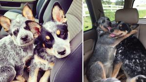Od szczeniaka do dorosłego psa - zobacz jak bardzo potrafią się zmienić nasze pu