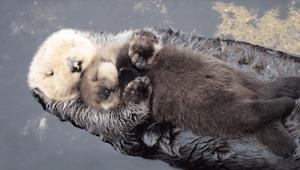 1 dniowa wydra próbuje zasnąć na brzuchu swojej mamy... To najsłodsze wideo jaki