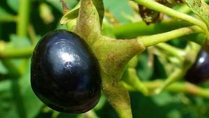 Ta roślina służyła czarownicom do trucia kochanków. Współcześnie można ją znaleź