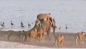 14 lwic zaatakowało zwierzę ważące 6000 kilogramów. To, co się stało, kiedy ucie