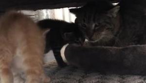Właściciele próbują socjalizować starego kota z traumatyczną przeszłością oraz d