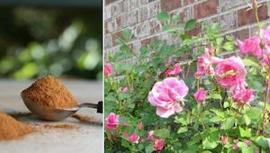 Każdy ogrodnik powinien znać te zastosowania cynamonu!