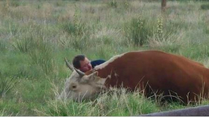 Mężczyzna położył się obok krowy. Gdy dowiecie się, dlaczego to zrobił, też się