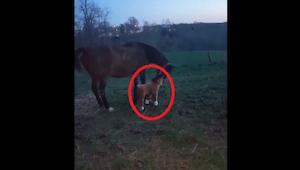 To, jak koń zareagował na widok pluszowego źrebaka, ubawi Was do łez!