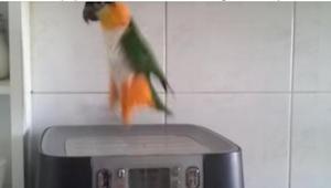 Właściciele nagrali popisy swojej papużki, bo nikt im nie chciał wierzyć w to, c