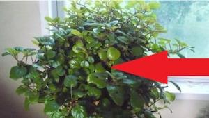 Dzięki tej roślinie w końcu odetchniesz pełną piersią! A może już ją masz w domu