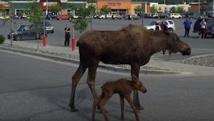 Kiedy klienci centrum handlowego zauważyli na parkingu klępę, nie spodziewali si