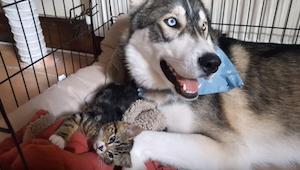 Kocię pomogło nerwowemu huskiemu uspokoić się. Musicie zobaczyć to wspaniałe nag