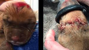 3-dniowy szczeniak wraca do zdrowia dzięki poświęceniu pielęgniarek, które czuwa
