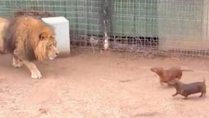 Lew podkrada się do jamników, które dostały się na jego wybieg. To nagranie zasz