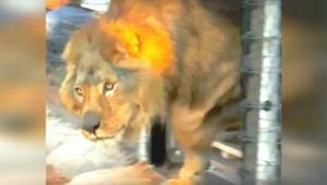 Lew całe życie spędził na betonowym wybiegu. Zobacz jak zareagował, po raz pierw