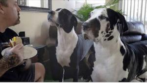 Gdy właściciel tłumaczy swoim psom, że one już jadły, a teraz pora na niego, jed