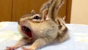 Wiewiórka szaleje w czystej pościeli. To nagranie zawojowało internet i zostało