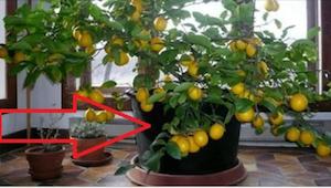 Gdy zobaczyłam drzewko cytrynowe w domu koleżanki, od razu zamarzyłam o takim sa