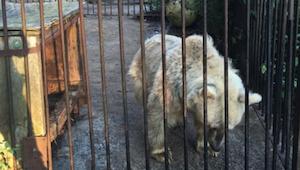 Niedźwiedź 30 lat spędził w klatce. Jego reakcja gdy odzyskał wolność doprowadzi