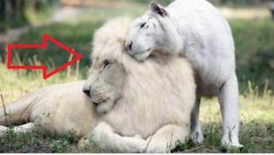 Biały lew i biała tygrysica zostali rodzicami - natura stworzyła niesamowitą krz