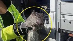 W Szwecji złapano olbrzymiego szczura! Nawet nie wiadomo było, gdzie go włożyć,