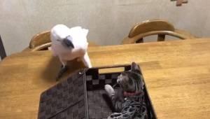 Papuga chce się pobawić z kociakiem, ale ten woli się bić... Reakcja papugi jest