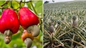 Chcesz wiedzieć, jak rosną ananasy, szparagi lub kiwi? To jest naprawdę ciekawe!