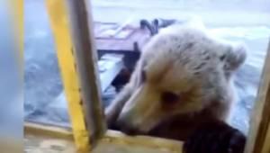 Niedźwiedź zbliżył się do otwartego okna i na powitanie dostał coś do jedzenia.