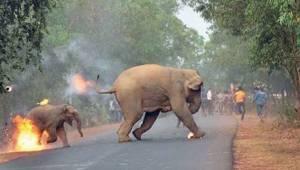 To, co dzieje się w Indiach, jest piekłem dla słoni. Czy naprawdę nikt nie jest