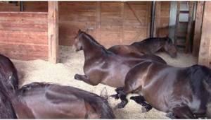 Konie najadły się i postanowiły uciąć sobie drzemkę. Ich właścicielka nawet nie