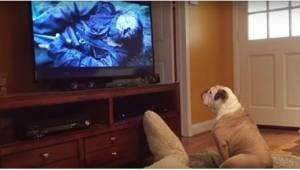 Pies spokojnie oglądał film, gdy nagle na ekranie pojawił się niedźwiedź. Reakcj